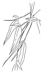 Bambusblätter 2