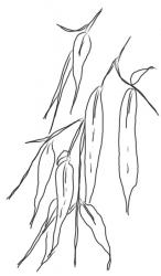Bambusblätter 4